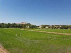 Terrazas sembradas de arroz en la zona del embarcadero a la entrada de Calasparra.