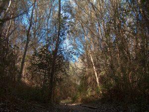 El bosque otoñal con los altos troncos de los sáucos, álamos y fresnos sin hojas.